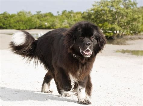 how much are newfoundland puppies world s breeds slideshow