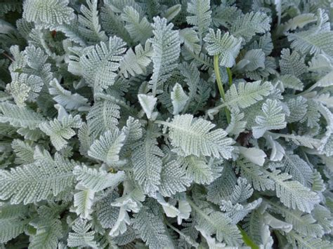 grey foliage plants image gallery silver foliage