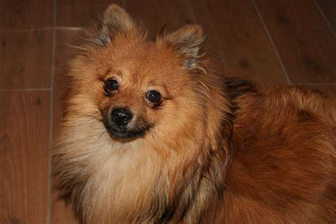 teacup pomeranian adults for sale pomeranian for sale 163 400 posted 8 months ago for sale dogs images frompo