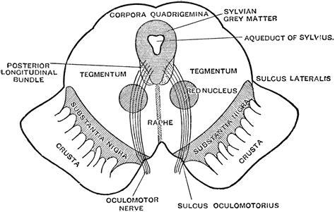 cross section of midbrain mesencephalon midbrain