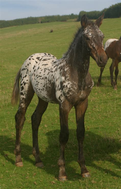 horses for sale uk horses for sale