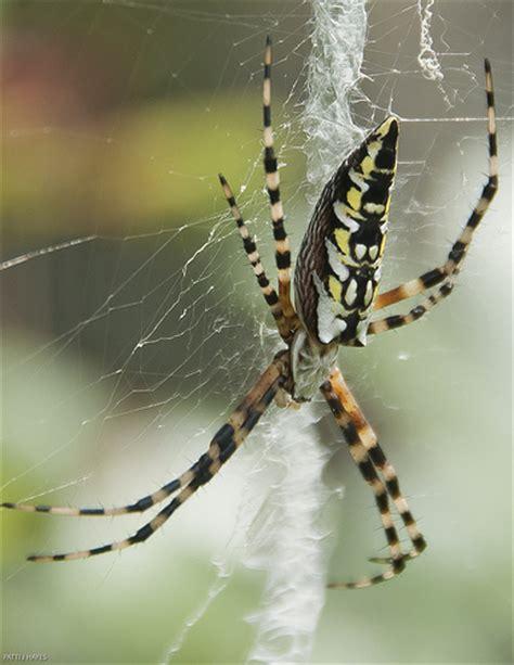 Garden Spider Legs Black And Yellow Garden Spider A Photo On