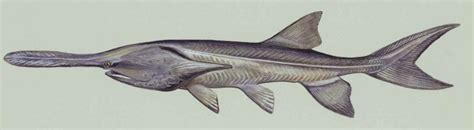 Polyodon Spathula quot prehistoric fish quot stocked in two central supply canal lakes cnppid
