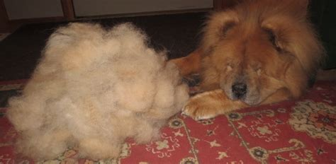 Do Chows Shed by About Wool Knit Your