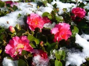 winter flowers winter flowers the japans