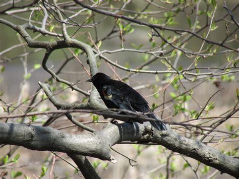 red wing black bird gm nj birds new jersey pinterest