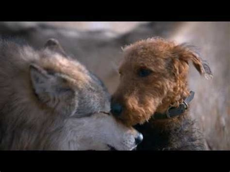 blue wolf food 1000 images about airedales on pets your and puppys