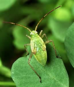 Garden Pest Identifier - file alfalfa plant bug jpg wikimedia commons