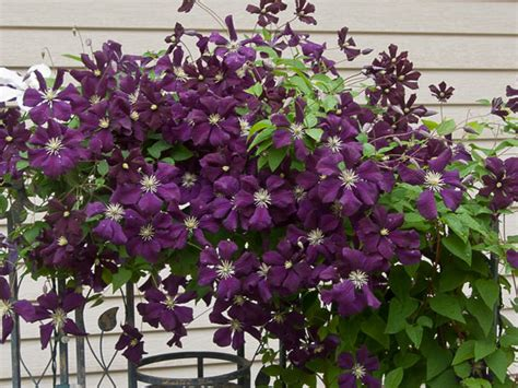 Pflege Clematis by Clematis Care