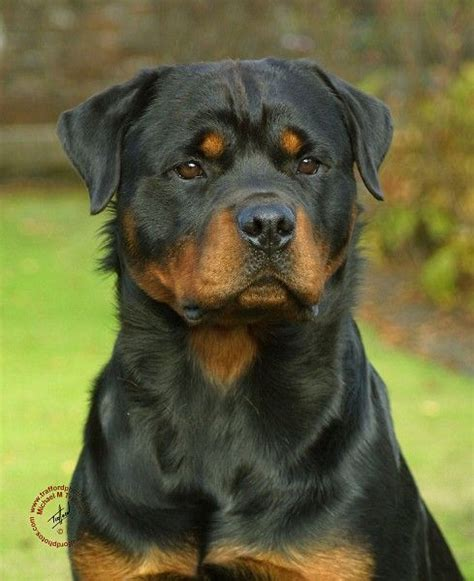 rottweiler colors mahogany 1000 ideas about rottweilers on rottweiler puppies rottweiler and
