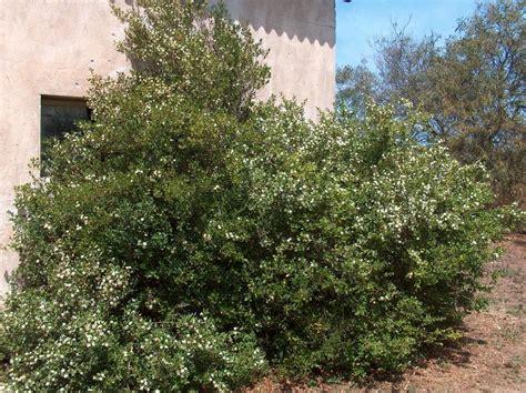 pianta mirto in vaso myrte commun myrtus communis taille bouturage entretien