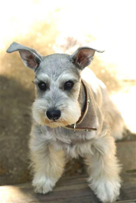 schnauzer style 109 best images about schnauzer on pinterest dog coat