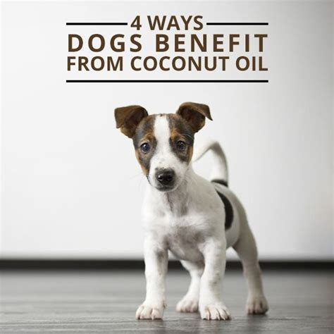 coconut for dogs 25 best ideas about coconut for dogs on coconut dogs coconut