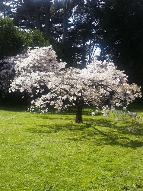 cherry tree stop q cherry blossom aol image search hoist wiring diagram