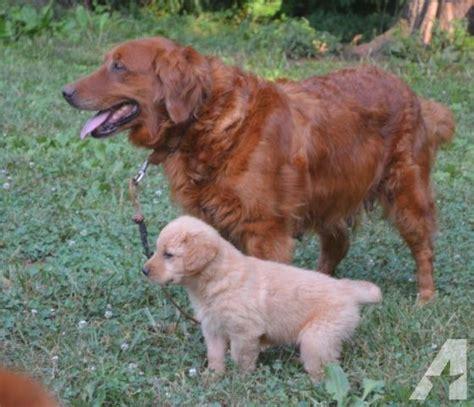 7 week golden retriever puppy akc golden retriever puppies 7 weeks for sale in burlington carolina