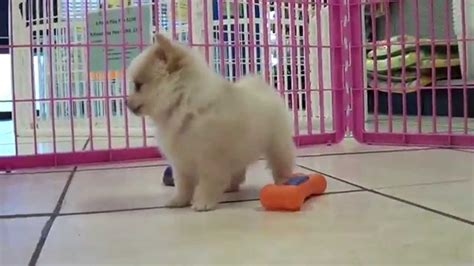 puppies louisville ky pomeranian puppies dogs for sale in louisville kentucky ky 19breeders bowling