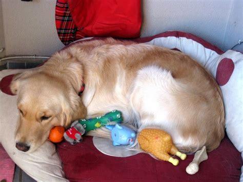 false pregnancy in dogs dogs can go threw a false pregnancy