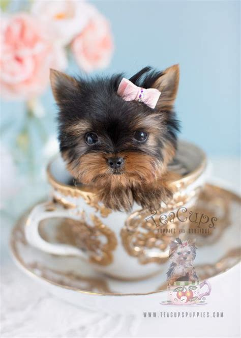 cheap teacup yorkies for sale in pennsylvania de 25 bedste id 233 er inden for teacup yorkie p 229 yorkies hundehvalpe og