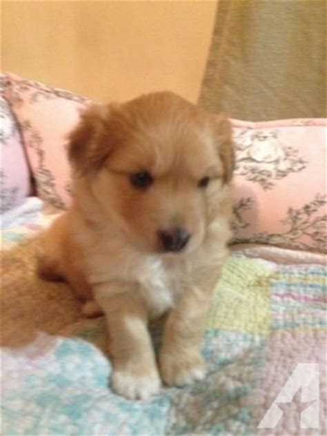 sheltie pomeranian puppies poshie puppy sheltie pomeranian designer breed for sale in seabrook new hshire