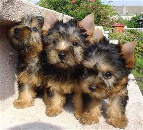 silky terrier puppies 78 best silky terriers images on yorkie silky terrier and yorkies