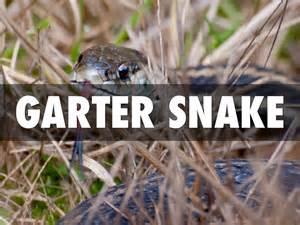 Garter Snake Deck Garter Snake By Sawmillgr2