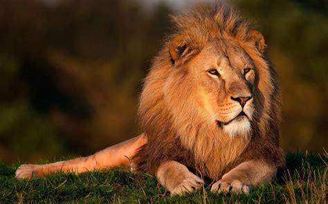 imagenes de leones rugientes leones hd wallpaper aplicaciones android en google play