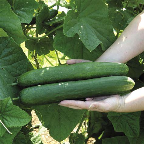 cucumber seeds sweet success hybrid cucumber seeds