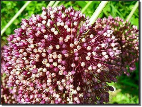 fiori d aglio pianta aglio ortaggi pianta di aglio