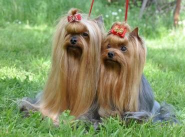 does a yorkie shed all about the yorkies we yorkie