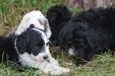 Do Bernedoodles Shed by Puppies Faq Briarwood Washington Dc S Premier