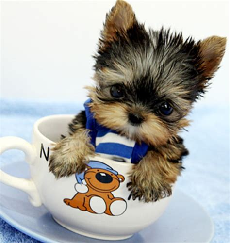 yorkie in a teacup 25 best ideas about teacup puppies on teacup dogs cutest small dogs and