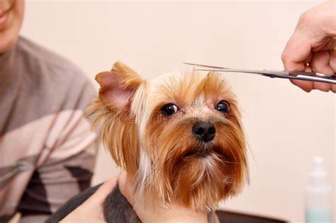 corte de pelo yorkshire terrier cortes de pelo yorkshire terrier peinados populares en
