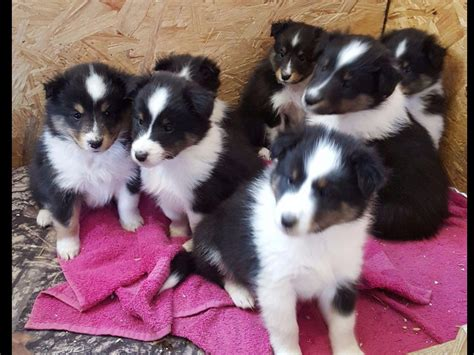 sheltie puppies for sale in tn shetland sheepdog puppies for sale near lufkin akc marketplace