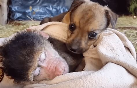 puppy and monkey tiny puppy is absolutely determined to cuddle with this monkey