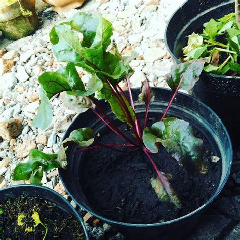 Bibit Buah Bit tak perlu bibit 5 buah dan sayur ini bisa jadi tanaman