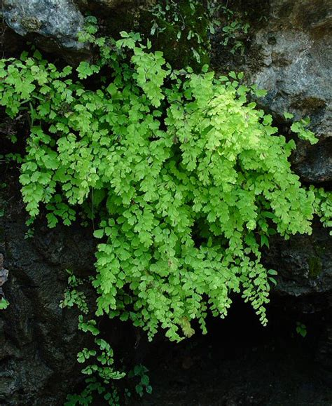 maidenhair fern garden coach photos