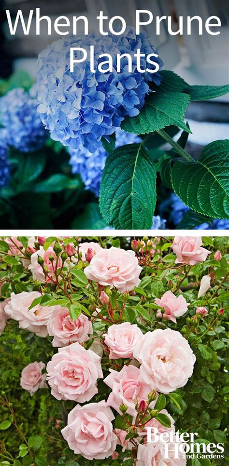 what to prune when perennials flower and hydrangeas