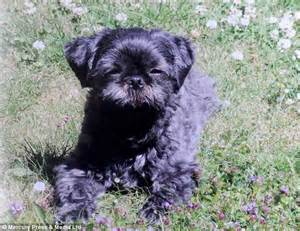 shih tzu x staffy shih tzu mauled to by two staffordshire bull terriers in oldham daily mail