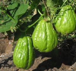 Fruit Tree Trellis Chayote Seeds Sechium Edule Christophene Pear Mirliton