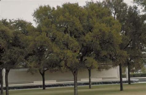 cedar elm tree selection landscape plants edward  gilman ufifas