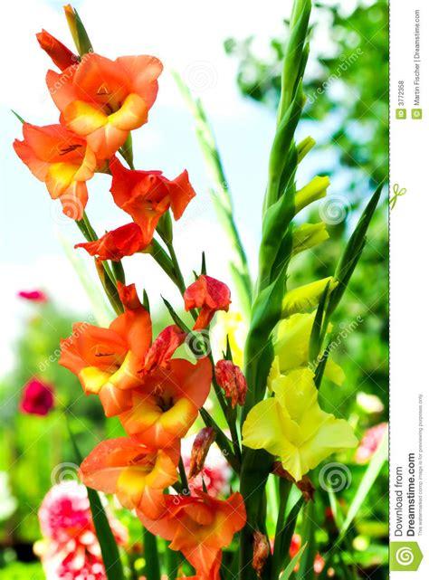 imagenes de flores gladiolas gladiolas colorido foto de archivo imagen de gardening