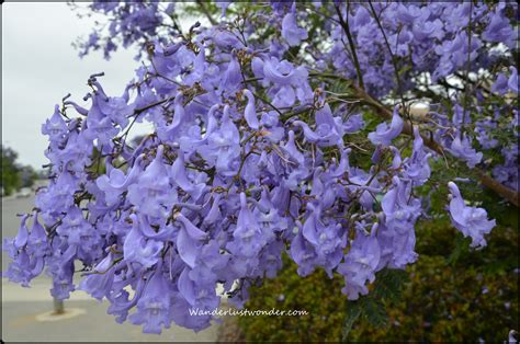 purple flowering trees pictures to pin on pinterest