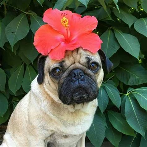 pugs and roses quot u deserve flowers every day of the week quot doug the pug