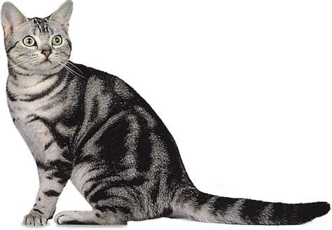 ???????????(American Shorthair) ? ???????   Cat Press