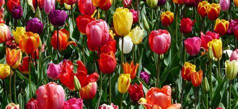 Come Piantare I Bulbi Di Tulipano come piantare i bulbi di tulipano guida