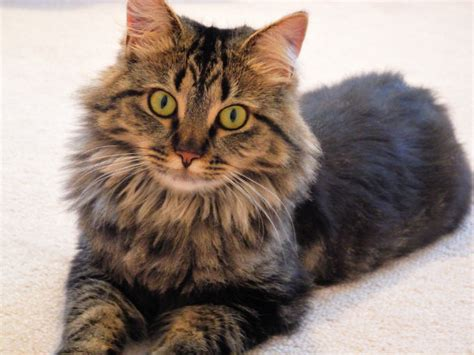 maine coon cat breed maine coon cat breed information pictures