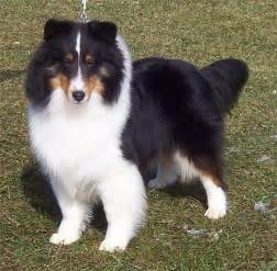 tri color sheltie sale in sheltie puppies for sale in