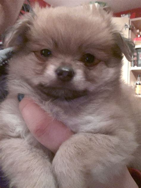 pomeranian cross pomeranian chihuahua cross with breeds picture