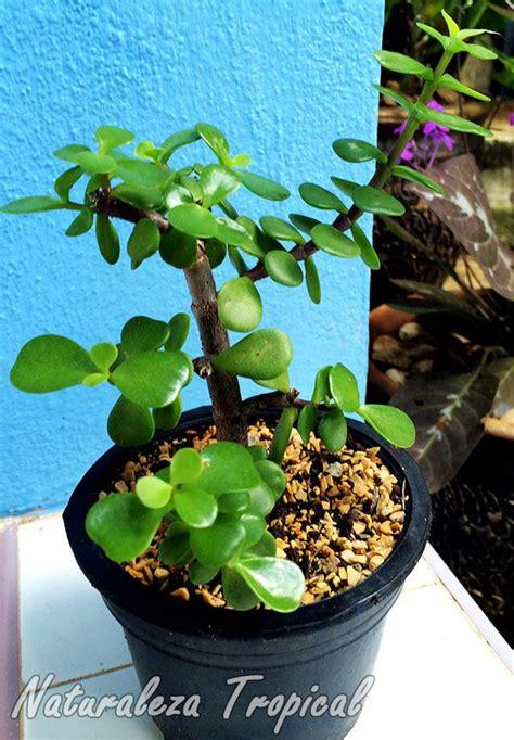 17 best images about plantas on pinterest los gatos 17 mejores ideas sobre plantas de jade en pinterest
