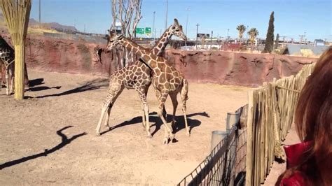 haircuts el paso 79936 giraffe fight el paso zoo youtube